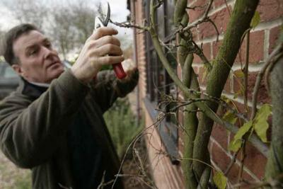 Specialist Wisteria pruning